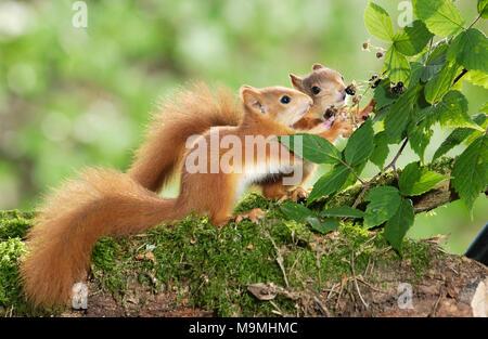 Europäisches Eichhörnchen (Sciurus vulgaris). Paar junge Essen Brombeeren. Deutschland - Stockfoto