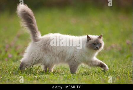 Heilige Birma Katze. Erwachsene Katze zu Fuß auf einer Wiese, gesehen - auf. Deutschland - Stockfoto