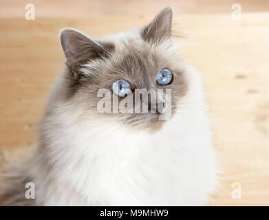 Heilige Birma Katze. Nach Katze sitzt auf Parkett, Portrait. Deutschland - Stockfoto