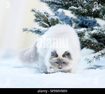 Heilige Birma Katze. Erwachsene Katze Wandern im Schnee. Deutschland - Stockfoto
