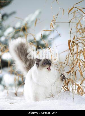 Heilige Birma Katze. Erwachsene Katze spielt mit trockene Stiele im Schnee. Deutschland - Stockfoto
