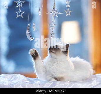 Weihnachten: Heilige Birma Katze spielt mit Mond und Sternen aus Glas in einem festlich dekorierten Fenster vorgenommen wurden. Deutschland - Stockfoto