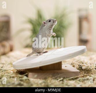 Häuslich Wüstenrennmaus (Meriones unguiculatus). Erwachsenen auf einem Drehteller. Deutschland - Stockfoto