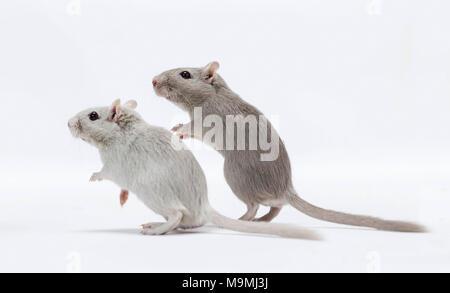 Häuslich Wüstenrennmaus (Meriones unguiculatus). Zwei Erwachsene stehen. Studio Bild auf weißem Hintergrund - Stockfoto