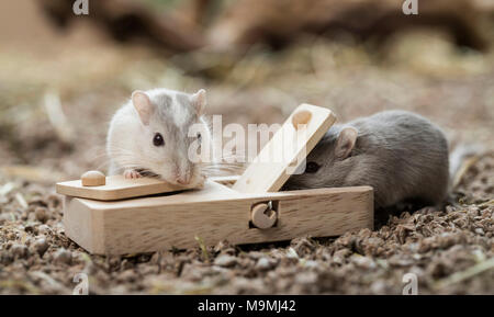 Häuslich Wüstenrennmaus (Meriones unguiculatus). Zwei Erwachsene auf Spielzeug, das Essen los, wenn behandelt. Deutschland - Stockfoto