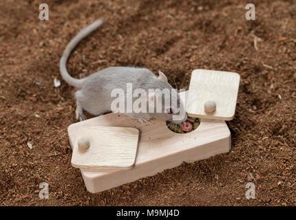 Häuslich Wüstenrennmaus (Meriones unguiculatus). Erwachsenen Spielzeug, das Essen los, wenn behandelt. Deutschland - Stockfoto