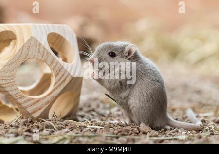 Häuslich Wüstenrennmaus (Meriones unguiculatus). Erwachsener im Toy, eine hölzerne Würfel. Deutschland - Stockfoto