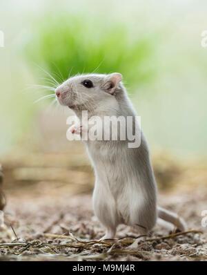 Häuslich Wüstenrennmaus (Meriones unguiculatus). Erwachsene männliche aufrecht steht. Deutschland - Stockfoto