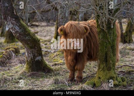 Highland Kuh in einem bewaldeten Gebiet in Schottland - Stockfoto