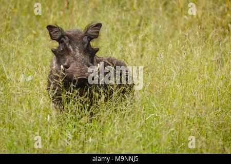 Nahaufnahme der Afrikanische Warzenschwein mit Fotograf im Grünland - Stockfoto