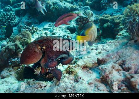 Octopus frei schwimmen am Riff inmitten andere bunte Fische - Stockfoto