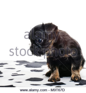 Griffon Baby Hund studio - Stockfoto