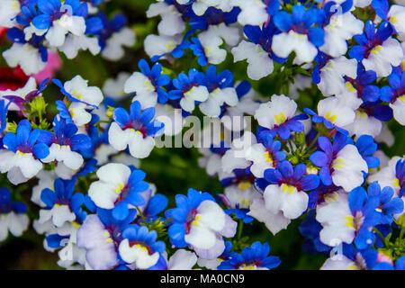 Blaue lila Blume der Herrlichkeit Busch in voller Blüte im Cathedral ...
