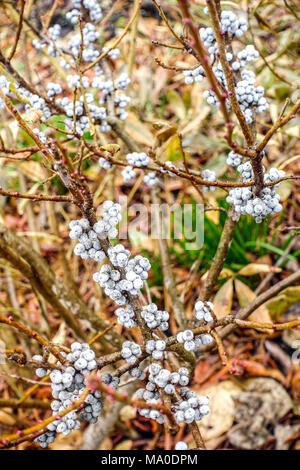 Northern Bayberry, Myrica pensylvanica Beeren auf Zweige - Stockfoto