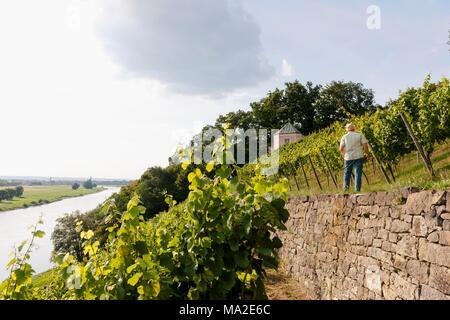 Reben an der Dinglinger Weinberg in der traditionellen Weise bepflanzt - Stockfoto