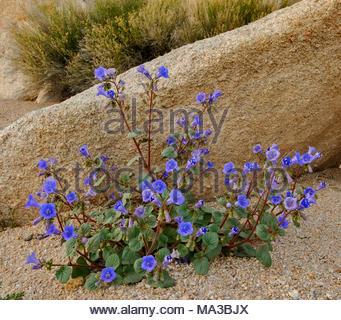Wüste Bell in sandigen Wash, Mojave National Preserve, Kalifornien - Stockfoto