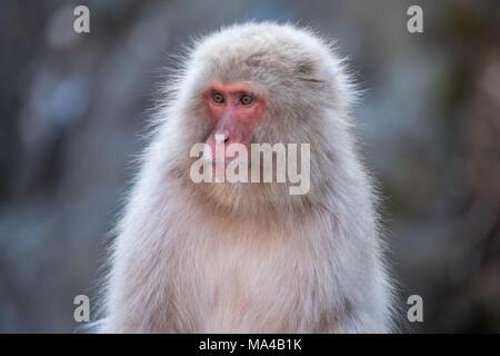 Japanische macaque Affen wie Schnee Affen bekannt live im Jigokudani Monkey Park, Yamanouchi, Japan. Im Winter sind die Affen runter kommen aus dem Memorandum - Stockfoto