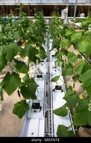 Hydroponic Landwirtschaft. Gewächshaus wachsenden Gurken. Dyersville, Iowa, USA. - Stockfoto