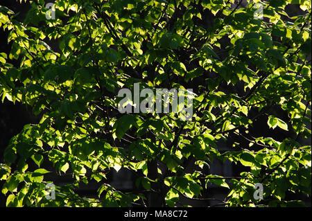Grünen Blätter Gegenlicht der Sonne im Frühling im Park, in Brooklyn, New York, April 2013. Stockfoto