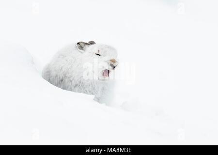 Schneehase (Lepus timidus) im Winter Fell Gähnen auf schneebedeckten Hang in die schottischen Highlands - Stockfoto