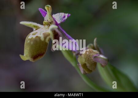 Eine wilde Biene Orchidee - heldrieichs oder des Bischofs Orchidee - wachsen auf Kreta. - Stockfoto