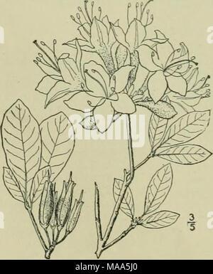 . Eine Illustrierte Flora von der nördlichen USA, Kanada und die britischen Besitzungen: von Neufundland zu den Parallelen der südlichen Grenze von Virginia und vom Atlantik westwärts nach dem 102 Meridian.