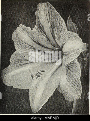 achimenes ambroise verschaffelt rhizome stockfoto bild. Black Bedroom Furniture Sets. Home Design Ideas