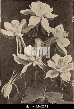 Reine weiße Aquilegia Blume mit langen Sporen. Weichen, unscharfen ...