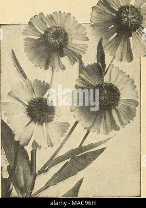 Rosa und weißen Riesen Hibiskus Stockfoto, Bild: 68575463 - Alamy