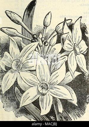 Blumenzwiebeln in Töpfen bereit für das Pflanzen im Blumenbeet. Nach ...