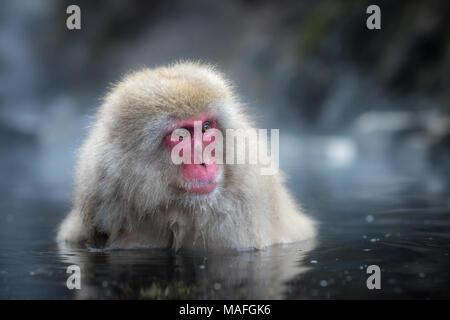 Schnee Affe oder japanischen Makaken in Hot spring Onsen - Stockfoto