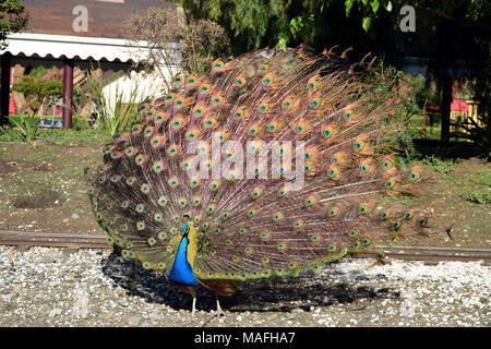 Ein männlicher Peacock seine pulsierenden Gefieder angezeigt - Stockfoto