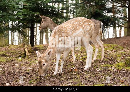 Zwei Hirsche auf der Suche nach Essen im Wald - Stockfoto