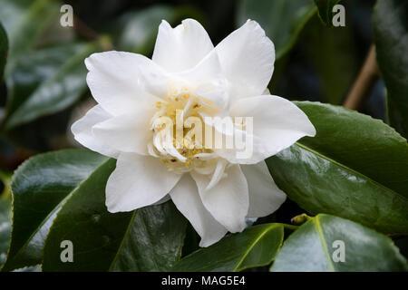 Weiß, halb gefüllte Blüte der immergrünen, Winter zu Frühling blühender Strauch, Camellia japonica 'Mary Costa' - Stockfoto
