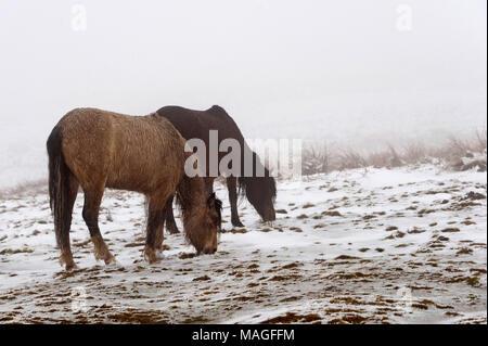 Builth Wells, Powys, UK. 2. April 2018. Zwei Welsh Mountain Ponys Futter für Gras in einer Winterlandschaft am Ostermontag auf dem Mynydd Epynt Reichweite ca. 300 Meter über dem Meeresspiegel in der Nähe von Builth Wells. Schnee fiel in der vergangenen Nacht bis ca. 150 Meter über dem Meeresspiegel in Powys, Wales, UK. © Bild: Graham M. Lawrence/Alamy Leben Nachrichten. - Stockfoto