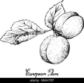 Exotische Früchte, Illustration Hand gezeichnete Skizze von frischem Pflaume oder Prunus domestica Früchte isoliert auf weißem Hintergrund. - Stockfoto