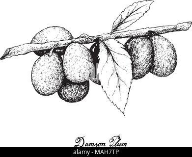 Exotische Früchte, Illustration von Hand gezeichnete Skizze Bündel Zwetschge Pflaume oder Prunus domestica Früchte isoliert auf weißem Hintergrund. - Stockfoto