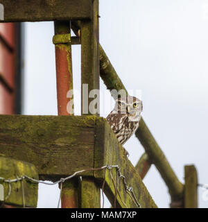 Burley-in-Wharfedale, West Yorkshire, UK. 3. April 2018. UK Wetter: UK Wildlife: Burley-in-Wharfedale, West Yorkshire, UK. 3. April 2018. Kleine Eule sitzt draußen im Tageslicht auf ein altes Gebäude in der Aufwärmphase nach dem Schnee von gestern. Rebecca Cole/Alamy leben Nachrichten - Stockfoto