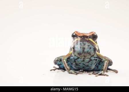 Die cainarachi Pfeilgiftfrosch (ameerega Cainarachi) so genannt, weil er nur in der cainarachi Tal von Peru gefunden wird. Hier abgebildet auf Weiß. - Stockfoto