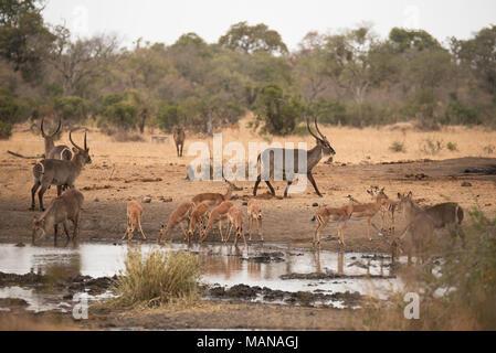 Herde von impala und Wasserböcke trinken aus einem Topf im Krüger Park - Stockfoto