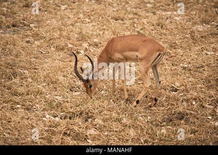 Impala ram Fütterung auf kurzen Gras im Krüger National Park - Stockfoto