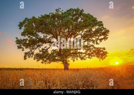 Sonnenuntergang über landwirtschaftliche Weizenfeld und einsamen grünen Baum - Stockfoto