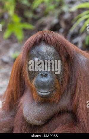 Weibliche bornesischen Orang-utan (Pongo pygmaeus) im Camp Leakey, Borneo, Indonesien, Südostasien, Asien - Stockfoto
