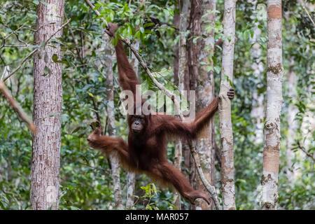 Junge bornesischen Orang-utan (Pongo pygmaeus) im Camp Leakey, Borneo, Indonesien, Südostasien, Asien - Stockfoto