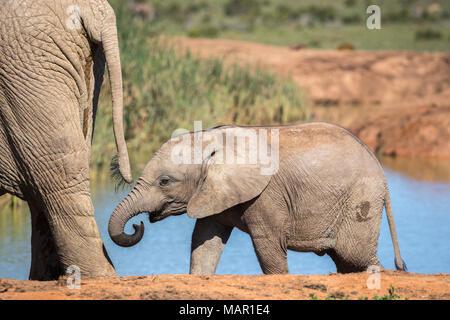 Afrikanischer Elefant (Loxodonta africana) Kalb, Addo National Park, Eastern Cape, Südafrika, Afrika - Stockfoto