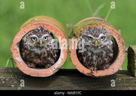 Steinkäuze (Athene noctua), Captive, Cumbria, England, Vereinigtes Königreich, Europa - Stockfoto