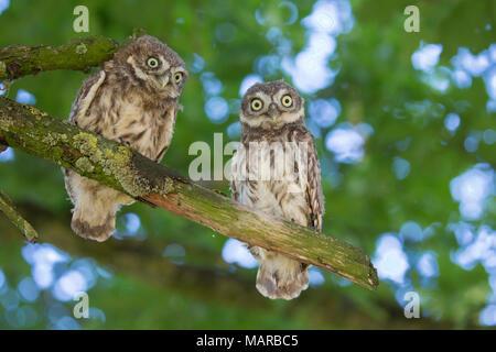 Steinkauz (Athene noctua). Zwei junge auf einem Ast sitzend. Deutschland