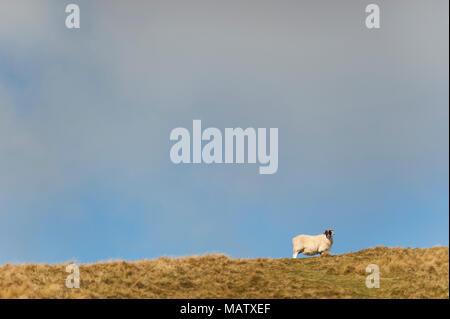 Ein einsames Schaf steht auf einem Hügel im Winter Sonnenlicht - Stockfoto