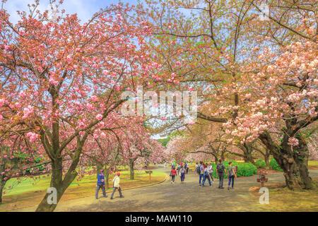 Tokyo, Japan - 17. April 2017: Menschen zu Fuß in Shinjuku Garten während der späten Kirschblüten. Shinjuku Gyoen ist der beste Platz, Kirschblüten, die zu unterschiedlichen Zeiten blühen im Frühling zu sehen. - Stockfoto