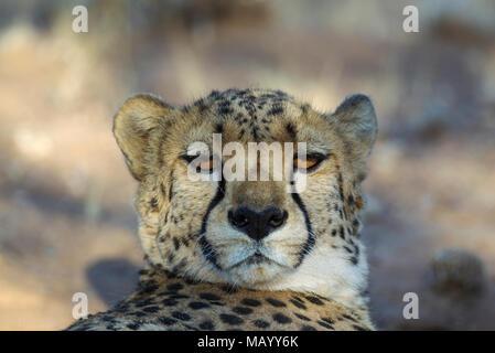 Gepard (Acinonyx jubatus), ruhen Männlich, Tier Portrait, Captive, Namibia - Stockfoto